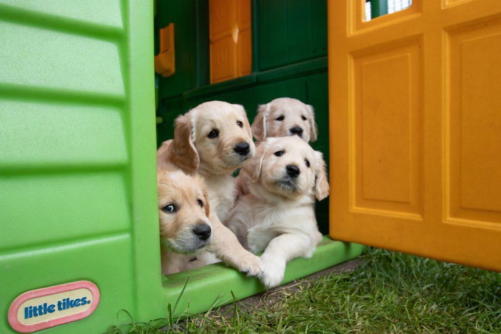 Cachorros de labrador 2 by Kshitij Shah