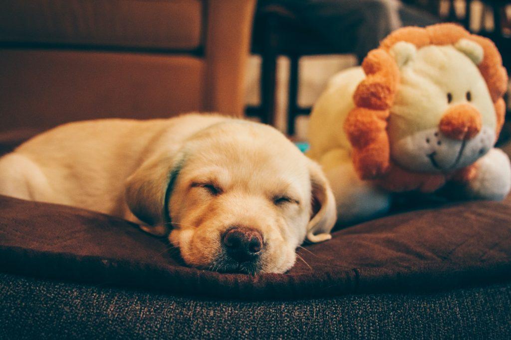 Cachorros de labrador  by Kshitij Shah