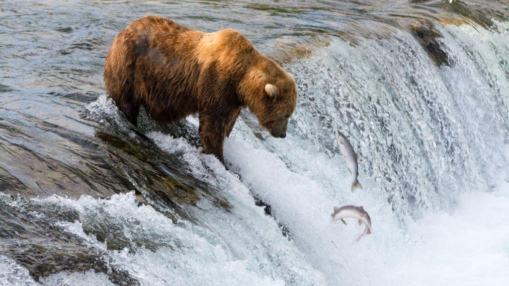 Oso pardo pescando en cascadas Brooks by Christoph Strässler