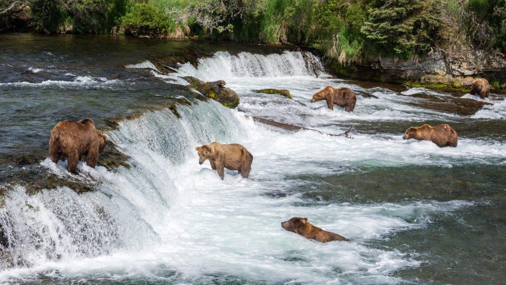Osos pardos en las cascadas Brooks by Christoph Strässler